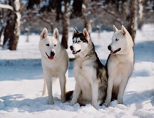 Schneehunde - Husky