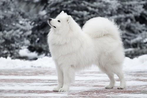 Schneehunde - Samoyede