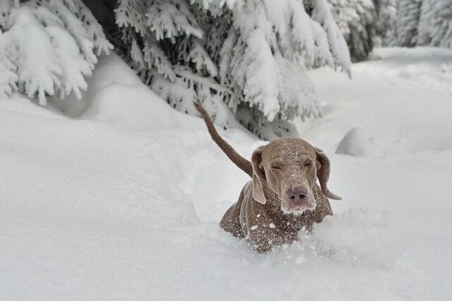 Schneehunde: 10 Hunderassen, die den Schnee lieben