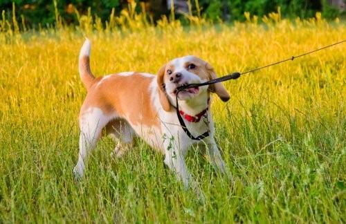 Verhaltensprobleme bei Hunden - Hund zieht an Leine