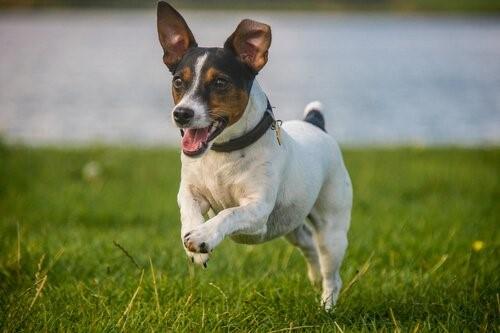 Wie erziehst du deinen Hund damit er nicht von zu Hause wegläuft - Spielender Hund