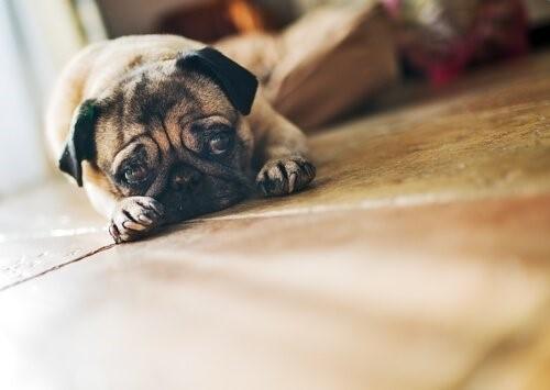 Wie erziehst du deinen Hund damit er nicht von zu Hause wegläuft - trauriger Hund