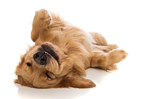 Zeichen, dass ein Hund glücklich ist - Hund auf dem Rücken