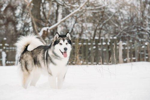 Alaskan Malamute - eine der nordischen Hunderassen