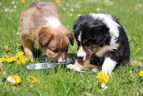 Arten von Hundefutter je nach Rasse zum Beispiel Collies