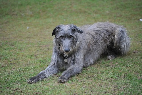 Schottischer Deerhound: Rasseporträt