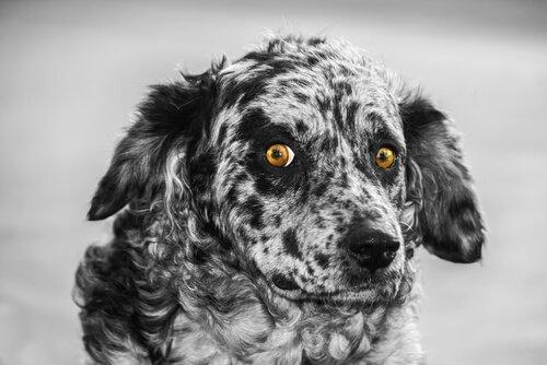 Der leonesische Pastor: eine spanische Hunderasse