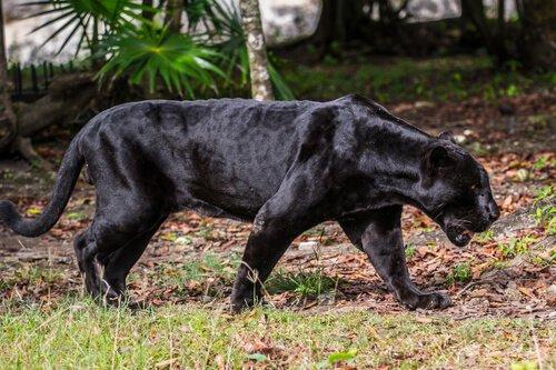 Der Schwarze Panther