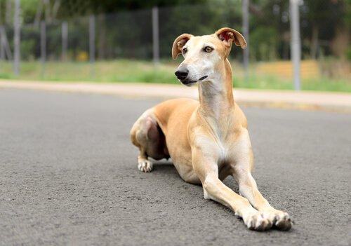 Spanischer Windhund beim Spaziergang