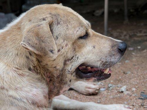 Was ist eine Dermatitis bei Hunden?