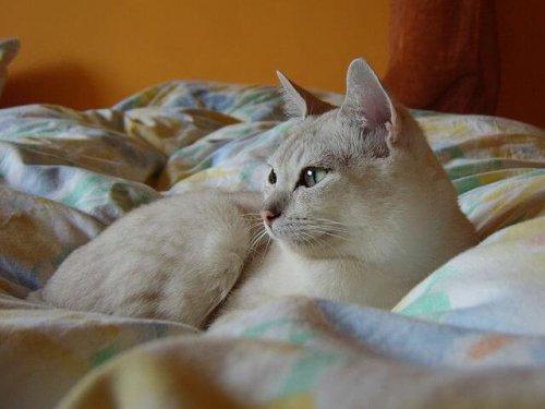 Die Burmilla-Katze hat immer ein helles Fell.