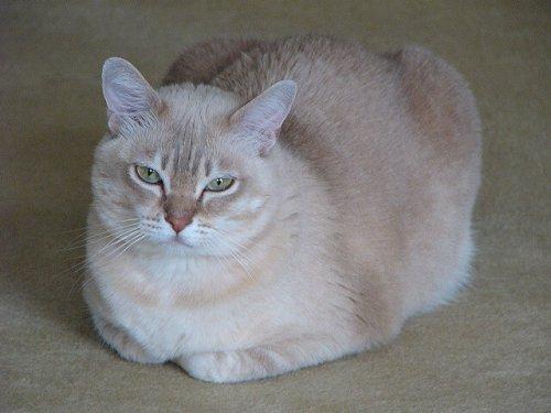 Die Burmilla-Katze hat immer grüne Augen.