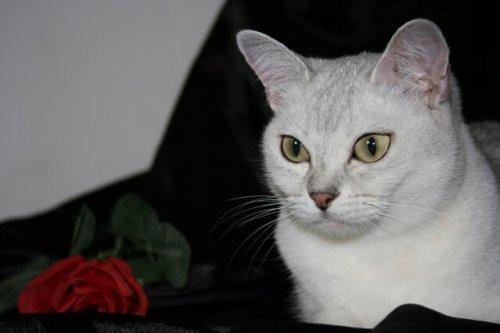 Die Burmilla-Katze