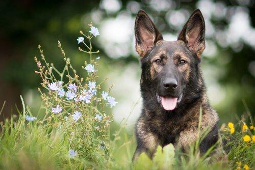 Die 5 gehorsamsten Hunderassen - Deutscher Schäferhund