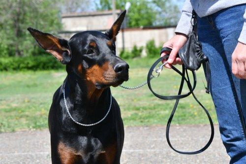 Die 5 gehorsamsten Hunderassen - Dobermann