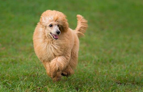 Die 5 gehorsamsten Hunderassen - Pudel