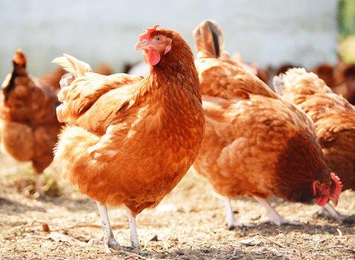 Die Qualität der Hühnereier ist für den Verbraucher wichtig.