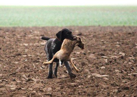 Ein Jagdhund mit Beute