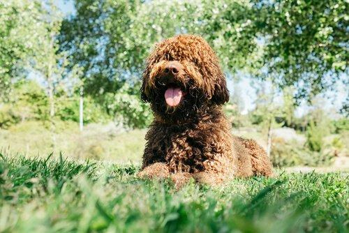 Hygiene und Pflege von einem Wasserhund