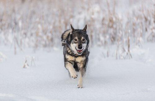 Norwegischer Elchhund - eine der nordischen Hunderassen
