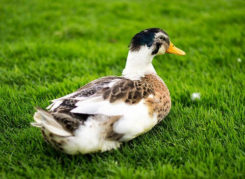 Enten als Haustiere: liebevolle Begleiter