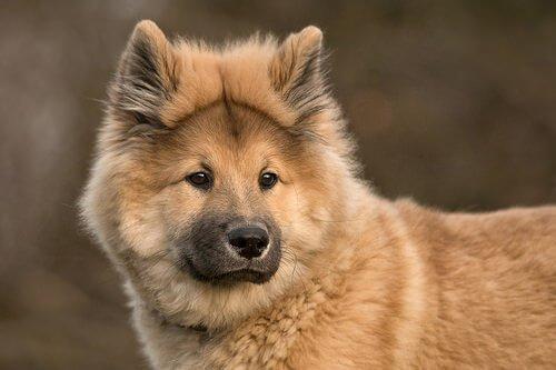 Der Eurasier, eine Hunderasse mit Chow-Chow-Einfluss