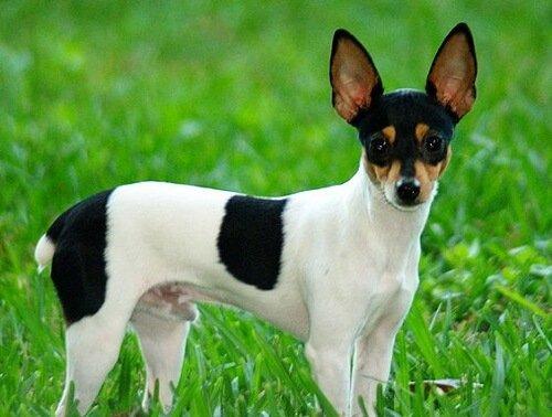 Toy Fox Terrier - ein kleiner und intelligenter Hund