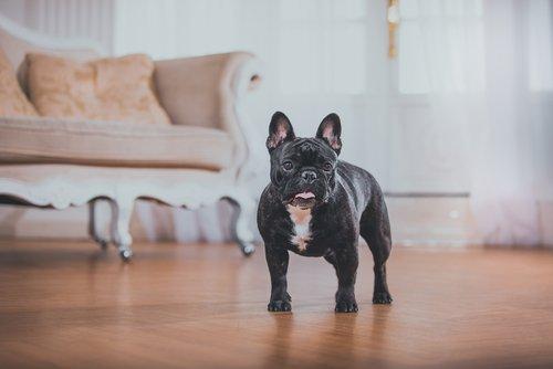 Die französische Bulldogge zu Hause