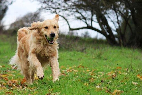 Golden Retriever, eine sehr freundliche Hunderasse