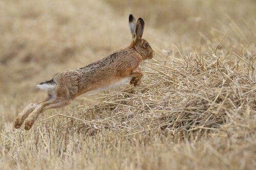 Warum ist der Hase vom Aussterben bedroht?