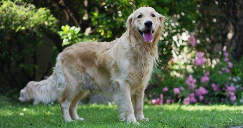 Herzgeräusche bei Hunden: Vorbeugung und Erste Hilfe
