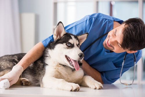 Hund beim Tierarzt hat Krampfanfälle