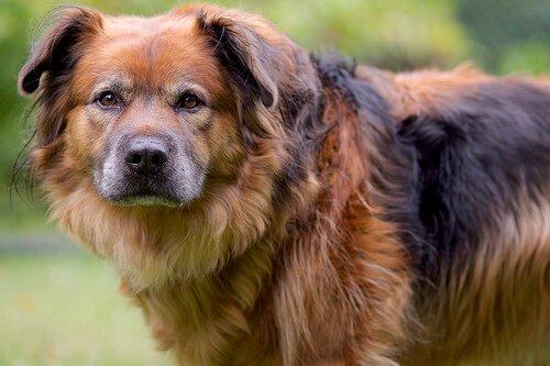 Schuldbewusster Gesichtsausdruck von Hunden