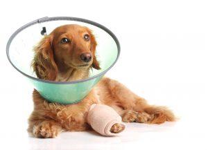 Zwangsstörungen bei Hunden können autodestruktiv sein