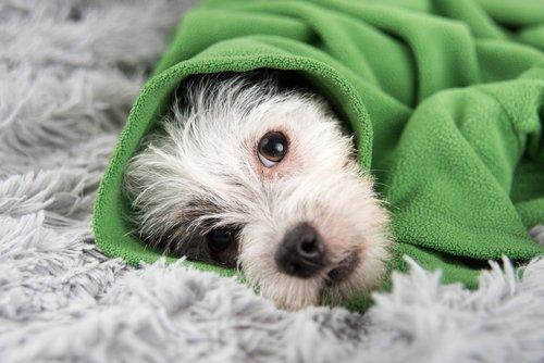 Hund nach Unfall mit Decke