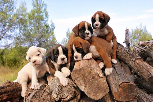 Brachycephalie bei Hunden