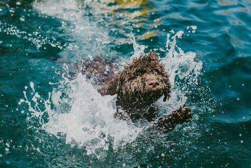 Einem Wasserhund muss man baden.