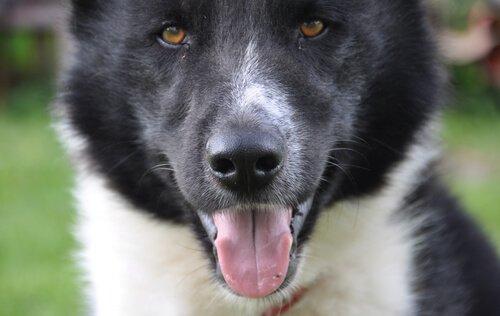 Karelischer Bärenhund - eine der nordischen Hunderassen