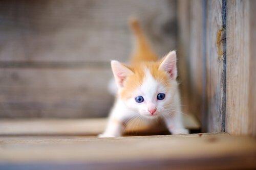 kleine Miezekatze erobert die Welt