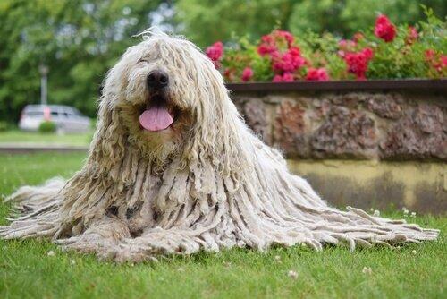 Komondor: der ungarische Schäferhund mit Dreadlocks