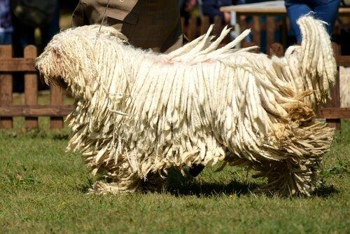Komondor, der Hund mit dem Rasta-Fell