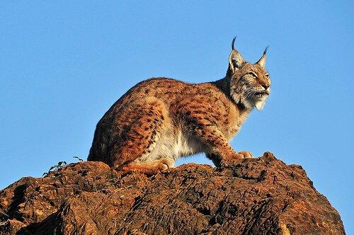 Der Luchs: Porträt einer wilden Katze
