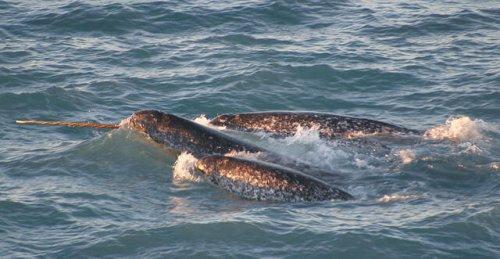Narwal - das wundersame Einhorn der Meere