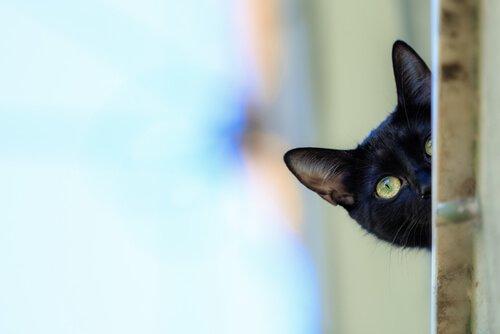 Panther Katze, Pflege und Gesundheit.