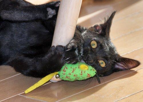 Eigenschaften der Panther Katze.