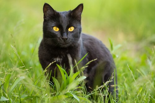 Panther-Katze: Eigenschaften und Pflege