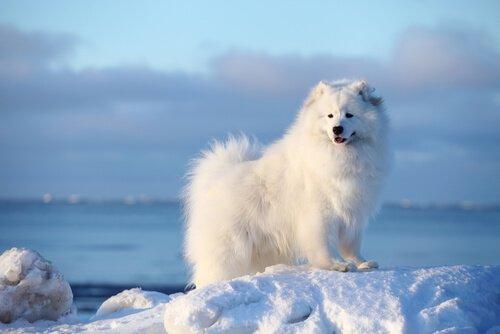 Samojede - eine der nordischen Hunderassen