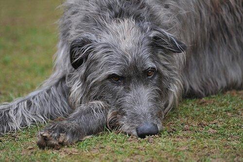 Deerhound auf einer Wiese