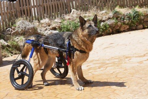 Schwache Hinterhand bei Hunden: Ursachen und Behandlungen