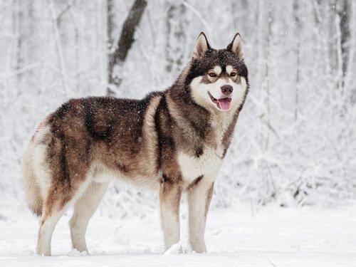 5 der nordischen Hunderassen